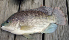 Is Tilapia Good For You?